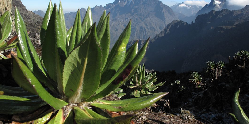 Pico Margarita en Uganda